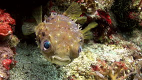 Puffer fish pouted and then blown away. Sea Life. stock video footage