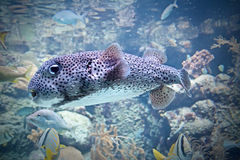 Puffer Fish, Puffer Stock Photography