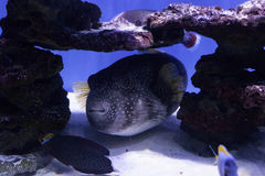 Puffer fish among stones Royalty Free Stock Image