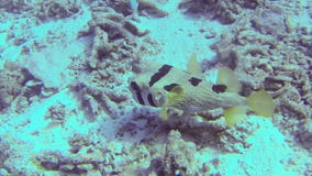 Puffer fish swimming slowly along the ocean floor stock footage