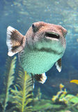 Puffer fish swimming in a water tank. Royalty Free Stock Photos