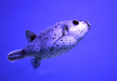 Puffer fish swims in the sea depth Royalty Free Stock Photography