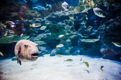 Puffer Fish in Tank. View of a big puffer fish in aquarium tank stock images