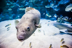 Puffer Fish in Tank Royalty Free Stock Photography