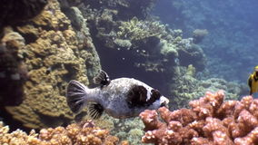 Puffer fish underwater on background marine landscape in Red sea. stock footage