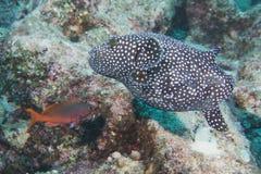 Puffer fish underwater portrait Stock Photo