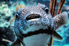 Puffer, Puff Fish Royalty Free Stock Photos