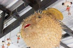 Puffer ryba który nabrzmiewa w pełni fotografia royalty free