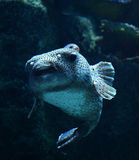 Puffer Royalty Free Stock Photo