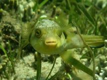 Pufferfische Lizenzfreie Stockfotografie