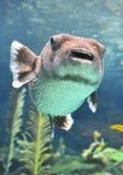 Pufferfischschwimmen in einem Wasserbecken. Lizenzfreie Stockfotos