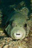 pufferfish被察觉的白色 库存照片