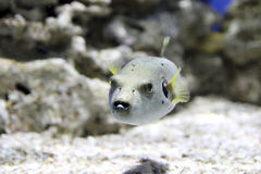 Pufferfish που κολυμπά σε ένα ενυδρείο Στοκ Φωτογραφία