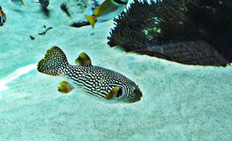 Pufferfish или Balloonfish или Blowfish или Bubblefish или Globefish или Swellfish или Toadfish стоковое изображение