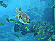 Pufferfish или Balloonfish или Blowfish или Bubblefish или Globefish или Swellfish или Toadfish стоковая фотография
