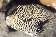 pufferfish рыб tropecal Стоковая Фотография