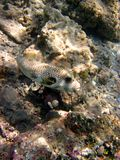 pufferfish Obrazy Royalty Free