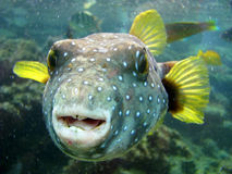 Pufferfish Royalty Free Stock Images