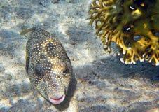 Pufferfish Obraz Royalty Free