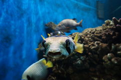 Pufferfish Image stock