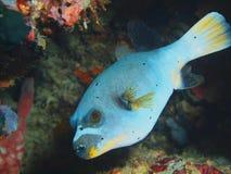 Pufferfish Fotografía de archivo libre de regalías