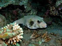 Pufferfish Fotografering för Bildbyråer