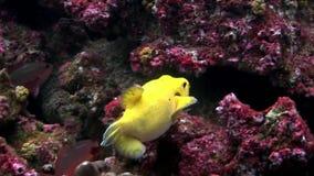 Pufferfish amarillos brillantes de la zona acotada de pesca subacuáticos en las Islas Galápagos almacen de metraje de vídeo