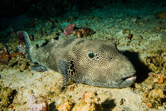 Pufferfish Arothron mappa resting on the substrate in Derawan, Kalimantan, Indonesia underwater photo Stock Images