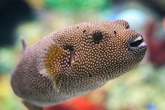 Pufferfish Arothron meleagris stock photo