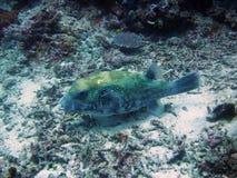Pufferfish bij de Gili-eilanden Stock Foto