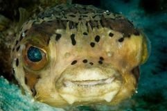 Pufferfish caraibico Fotografie Stock Libere da Diritti