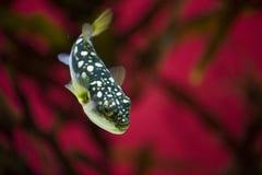 Pufferfish contra fondo rojo foto de archivo libre de regalías