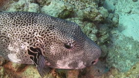 Pufferfish on Coral Reef Stock Photos