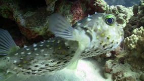 Pufferfish on Coral Reef Royalty Free Stock Images