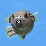 Pufferfish, de vissen van de het gezichtskogelvis van de Verbinding. Stock Afbeelding