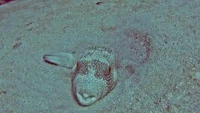 Pufferfish de Whitespotted en el mar tropical en el fondo del mar arenoso almacen de video