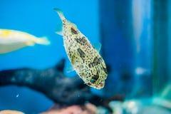 Pufferfish del puerco espín en el acuario en el fondo azul fotografía de archivo libre de regalías