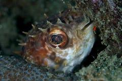 Pufferfish dell'istrice Fotografia Stock