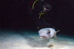 Pufferfish with diver during night dive, Cuba Stock Images