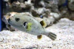 Pufferfish dopłynięcie w akwarium obrazy royalty free
