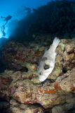 Pufferfish e siluette dell'operatore subacqueo di scuba. Fotografie Stock Libere da Diritti