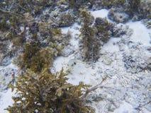 Pufferfish en photo sous-marine de bord de la mer tropical Animal de récif coralien Images libres de droits