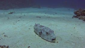 Pufferfish gigantes en el mar tropical en el arrecife de coral almacen de video