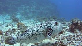 Pufferfish gigantes en el mar tropical en el arrecife de coral almacen de metraje de vídeo