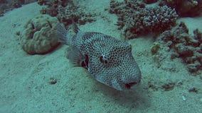 Pufferfish gigantes en el mar tropical en el arrecife de coral metrajes