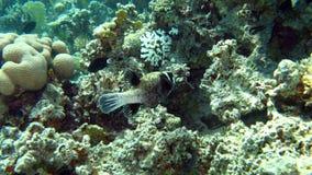 Pufferfish mascherato nel Mar Rosso dell'Egitto Immagini Stock