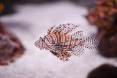 Lionfish in movement in aquarium. A pufferfish in an aquarium while swimming royalty free stock photography