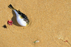 Pufferfish na praia Foto de Stock Royalty Free