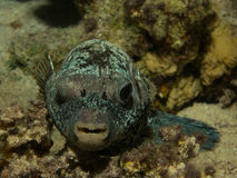 Pufferfish Red Sea Dive Royalty Free Stock Image