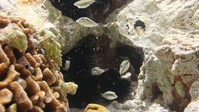 Pufferfish in rock pool stock video footage